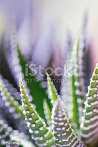 A DSLR photo of a beautiful succulent plant (Haworthia Attenuata) with defocused background.
