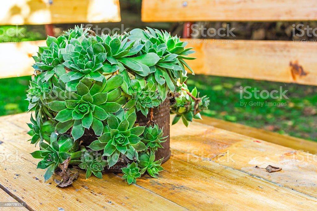Succulent plant is growing in rusty metal can, Houseleek plant