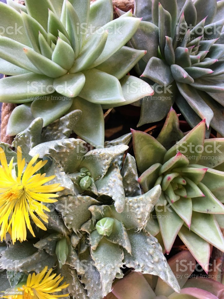 Succulent plant flower - Royalty-free Agave Stock Photo