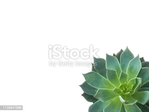 istock Succulent plant in corner on white background 1125547590
