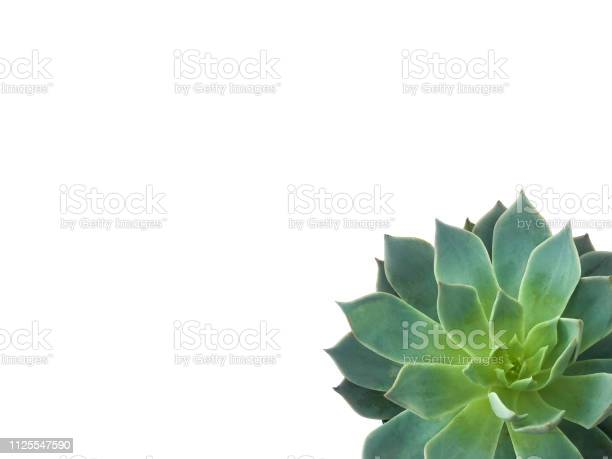 Succulent plant in corner on white background picture id1125547590?b=1&k=6&m=1125547590&s=612x612&h=0hnst5uczvhuridjyu5hsg5gxvey1dbip5ys8lmm5ey=