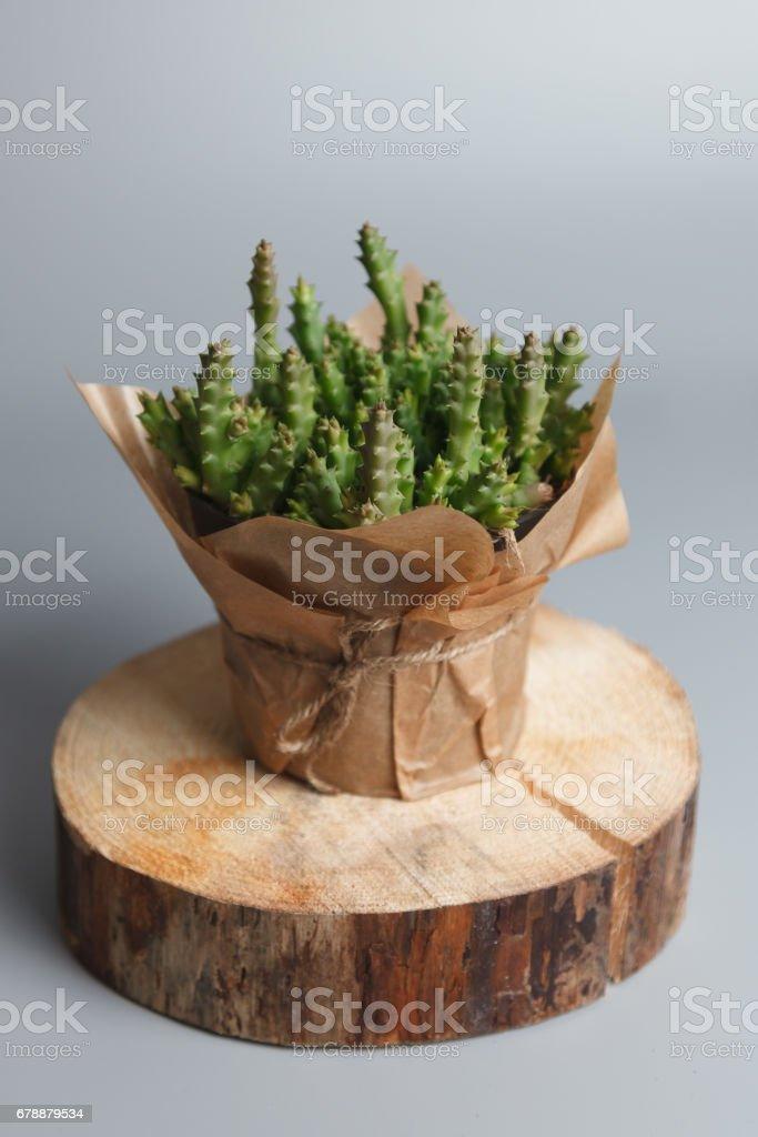 Plante succulente isolé sur fond gris photo libre de droits