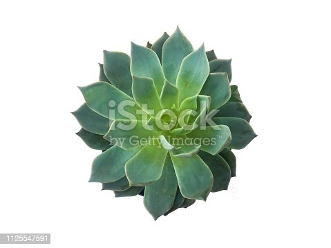 istock Succulent plant isolated on white background 1125547591