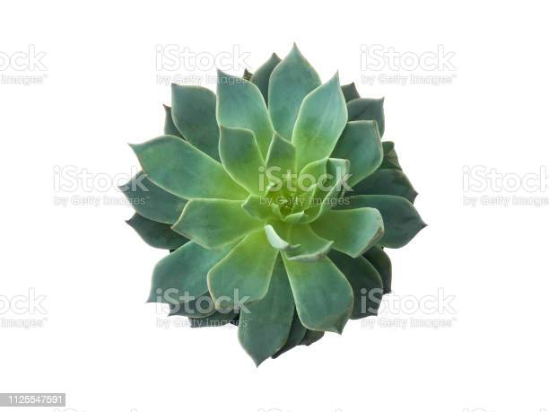 Succulent plant isolated on white background picture id1125547591?b=1&k=6&m=1125547591&s=612x612&h=jfewjjccsynxayduhm0jrm6eailzokgytwhb x1mxok=