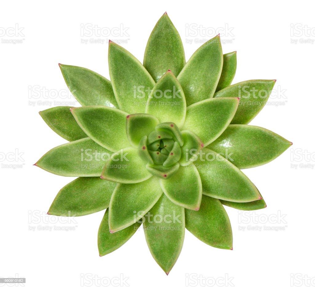 Succulent plant isolated white background stock photo