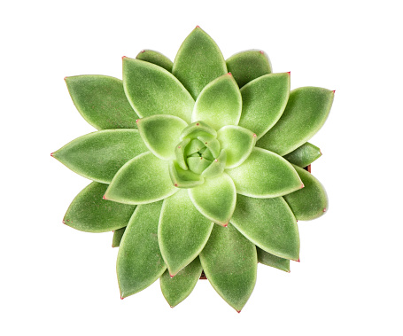 Succulent plant isolated white background Top view