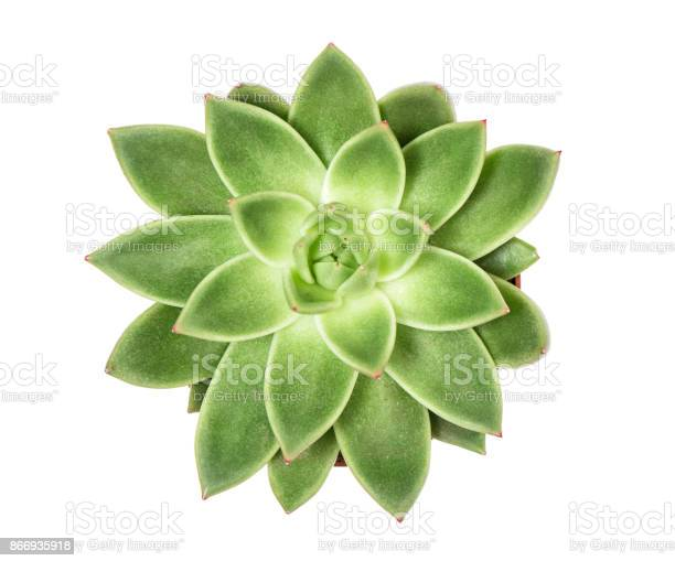 Succulent plant isolated white background top view picture id866935918?b=1&k=6&m=866935918&s=612x612&h=bu1u9ao2wfr jisrnemyjpdqt6oedok0siyjobno6dm=