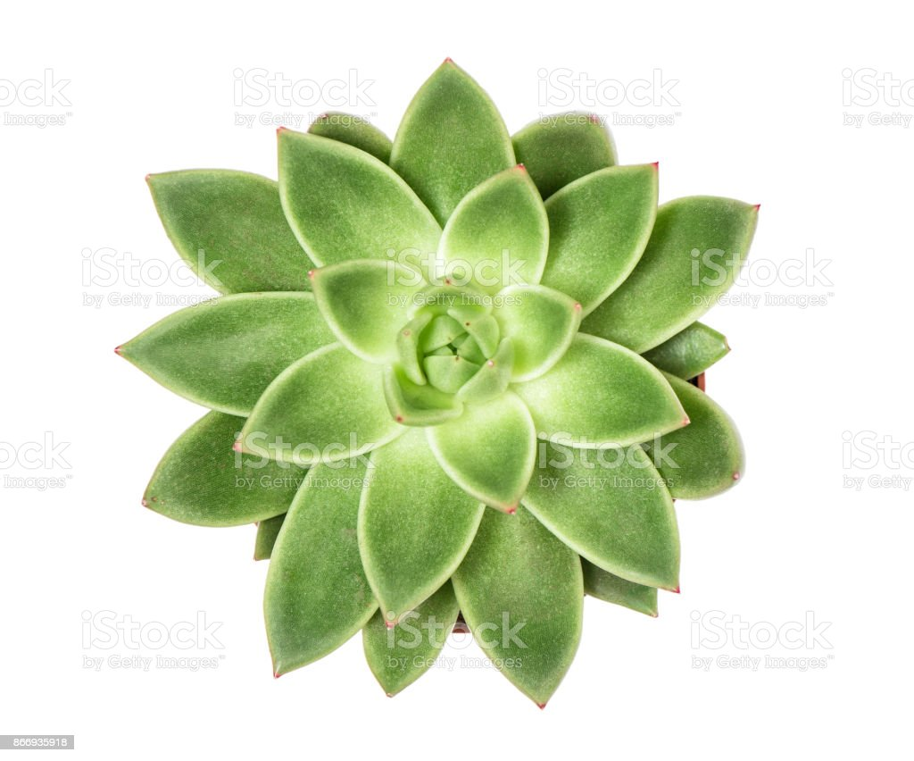 Succulent plant isolated white background Top view stock photo