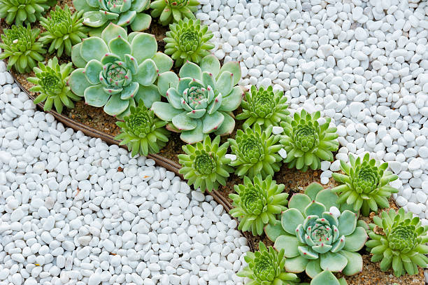 succulent plant succulent plant in garden pebble stock pictures, royalty-free photos & images