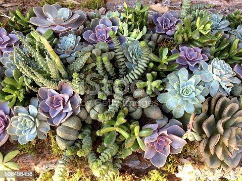 istock Succulent plant 508458458