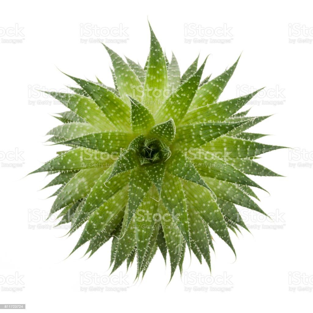 Plante grasse - Photo