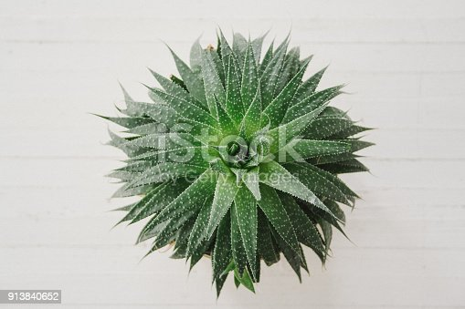 A single green succulent plant on a while wooden background