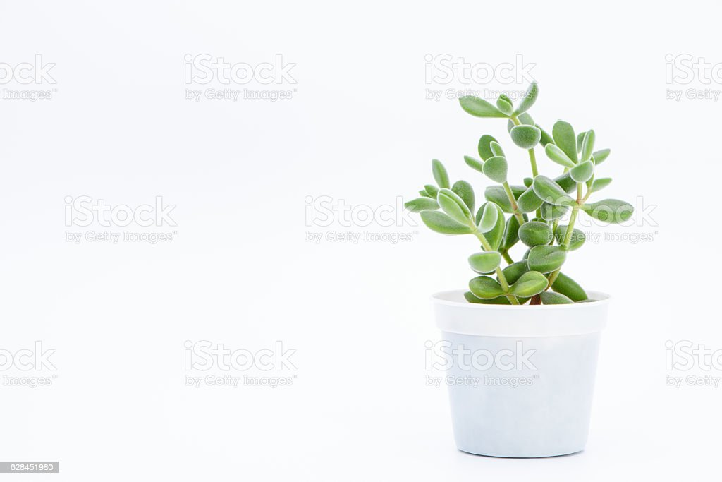 succulent plant potted stock photo