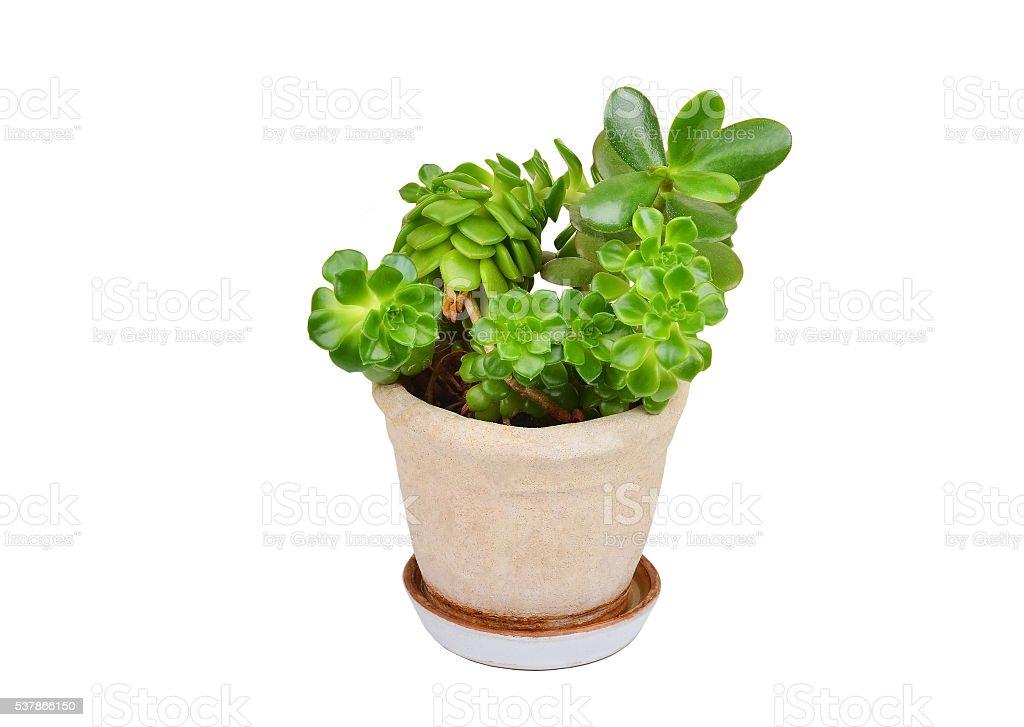 Succulent plant sempervivum and Crassula stock photo