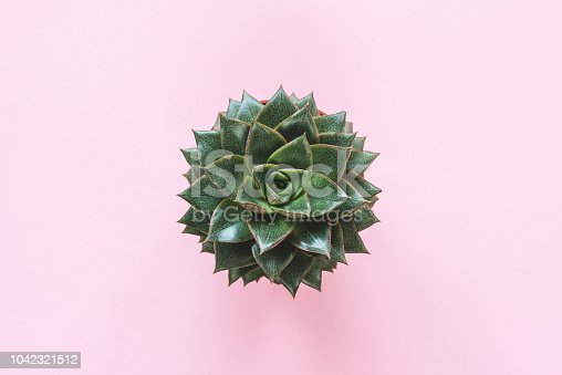 istock Succulent Plant Stone Rose On Pink Background 1042321512