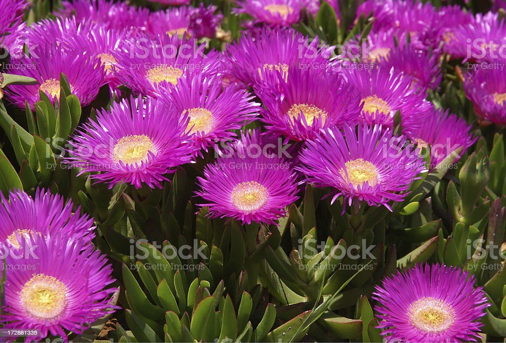 Succulent plant with pink Flower royalty-free stock photo
