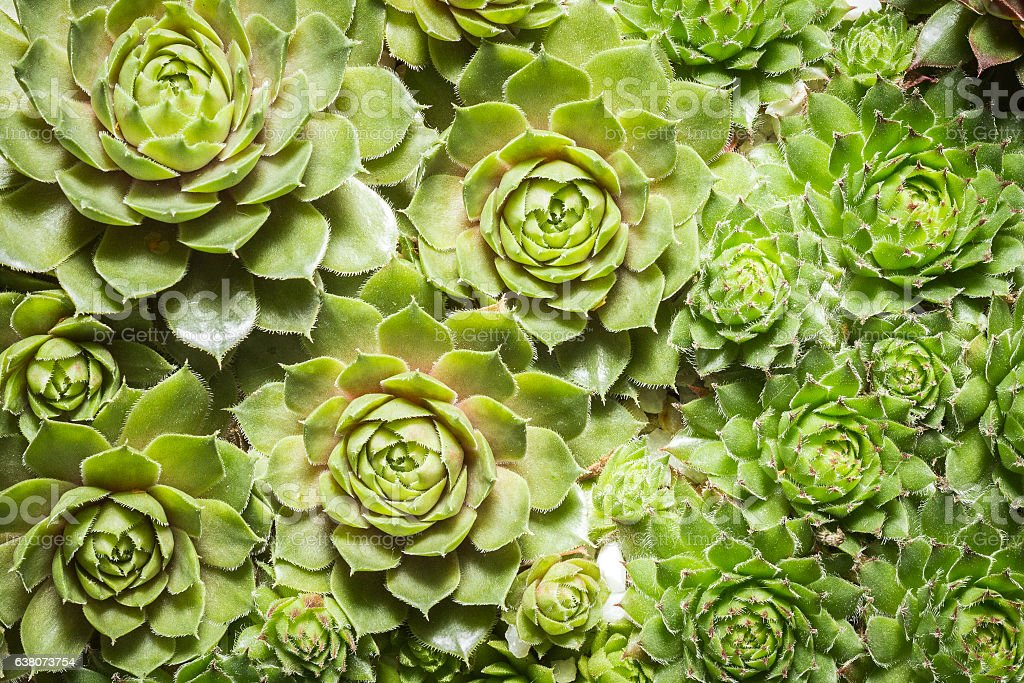 succulent plants closeup  - cactus plants macro stock photo