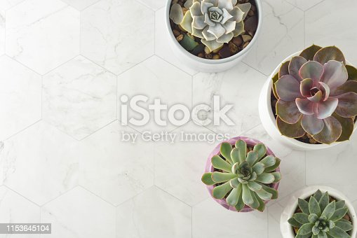 Succulent plant, echeveria in white pot. Decorative indoor plants.