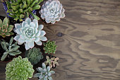 Closeup of assorted succulent plants on wooden table ready for planting in garden. Copyspace.'n