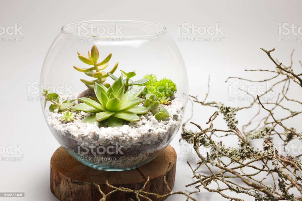 Succulent Plants Growing In A Glass Vase Stock Photo More Pictures