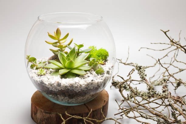 Succulent plants growing in a glass vase (terrarium) Succulent plants growing in a glass vase (terrarium) crassulaceae stock pictures, royalty-free photos & images