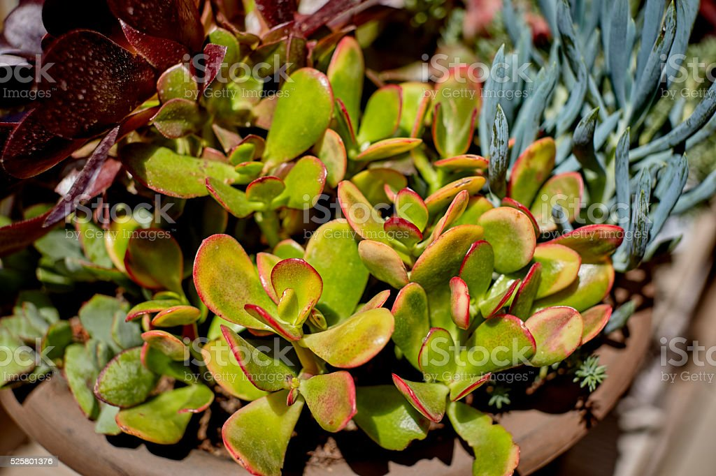 Succulent Plants growing in a Pot stock photo