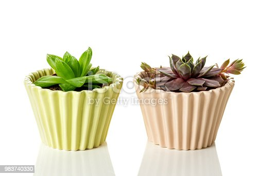 Succulent plants in pastel colored ceramic pots, on white background with reflection.