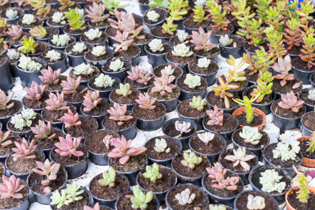 Succulent plants in small pots are ready for sale in marketplace stock photo
