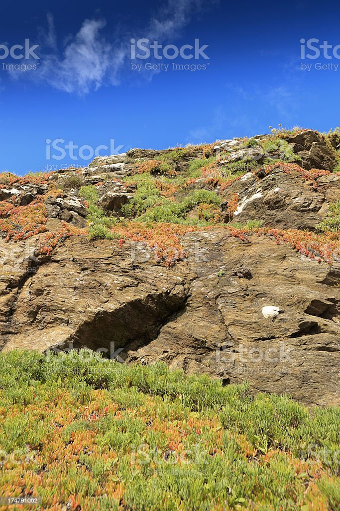 succulent plants on the cliffs at Lizard Point royalty-free stock photo