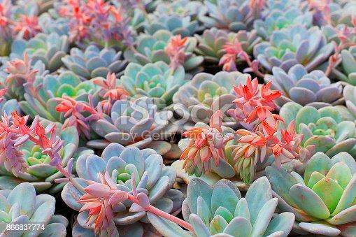 istock Succulent plants pattern beauty in nature: green lush foliage garden at desert landscape 866837774