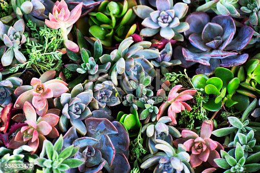 This is a close up photo of a variety of colorful succulent plants together.