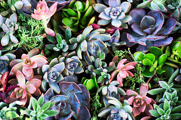succulent plants - botany stock pictures, royalty-free photos & images