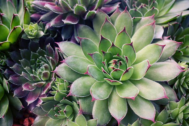 Succulent plants set background Succulent plants set background. crassulaceae stock pictures, royalty-free photos & images