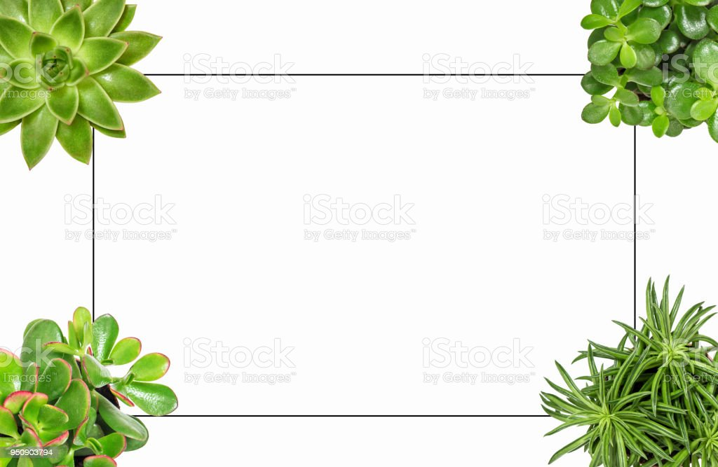 Succulent plants white background Flat lay frame stock photo