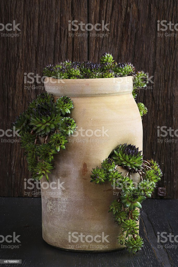Succulent Sempervivum calcareum in ceramic plant pot with side o stock photo