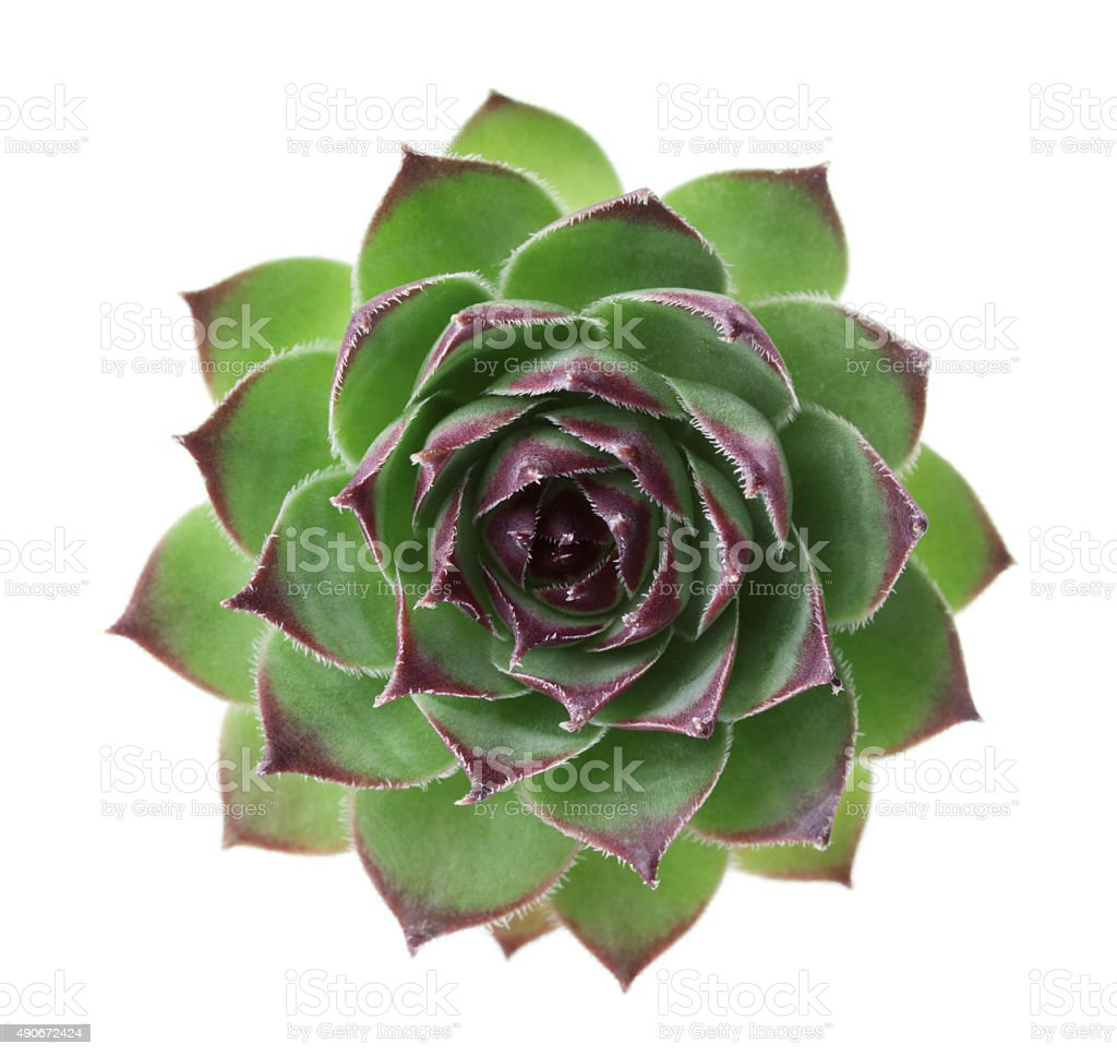 Succulent sempervivum, houseleeks, liveforever isolated stock photo