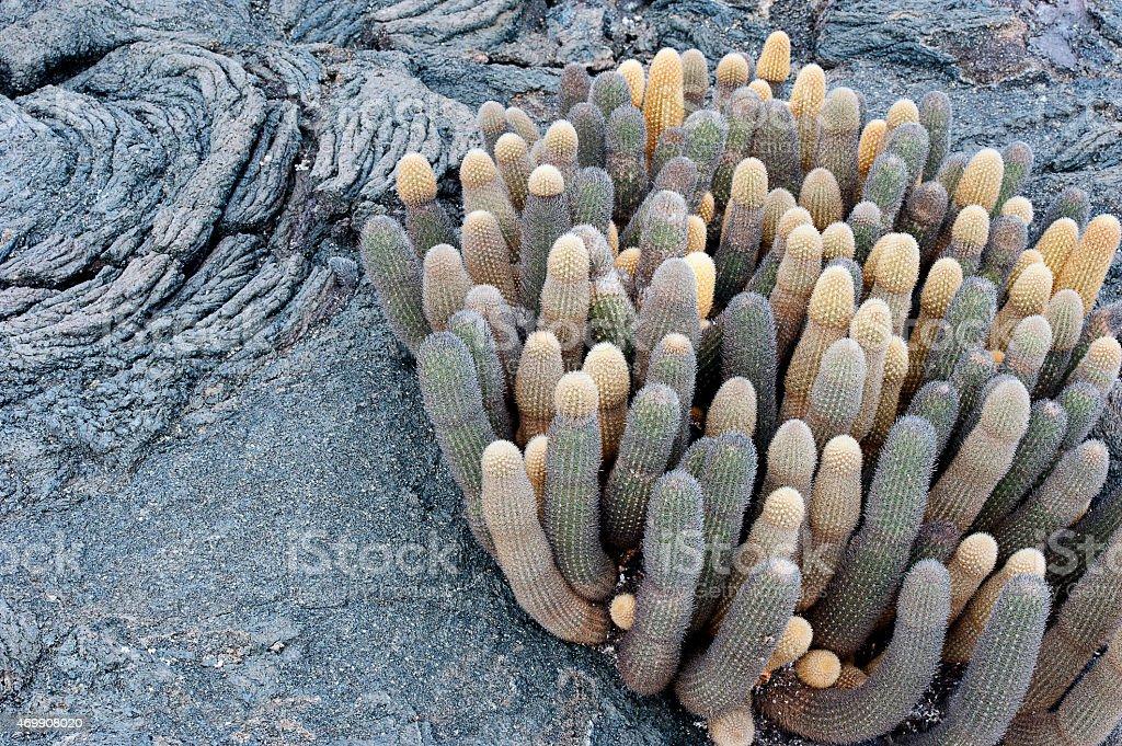 Succulent survivors, Lava Cactus in Galapagos Islands, Ecuador stock photo