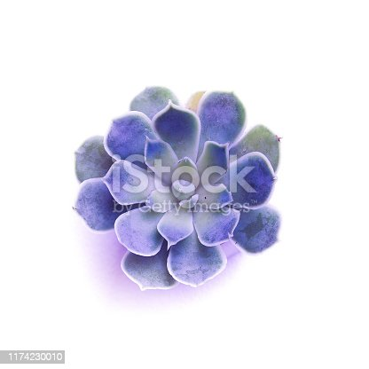 Succulent top view echeveria rosette on a white background in neon light. Macro shot of a green and purple succulent houseplant with dew drops. Isolated on a white background. Banner for your design.