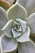 succulent type plant Echeveria agavoides pointed fleshy leaves great in dry arid hot places or as indoor plant