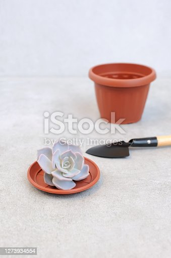 Succulent with gardening equipment for planting.  Concept of home garden and taking care of home flowers.Vertical orientation.