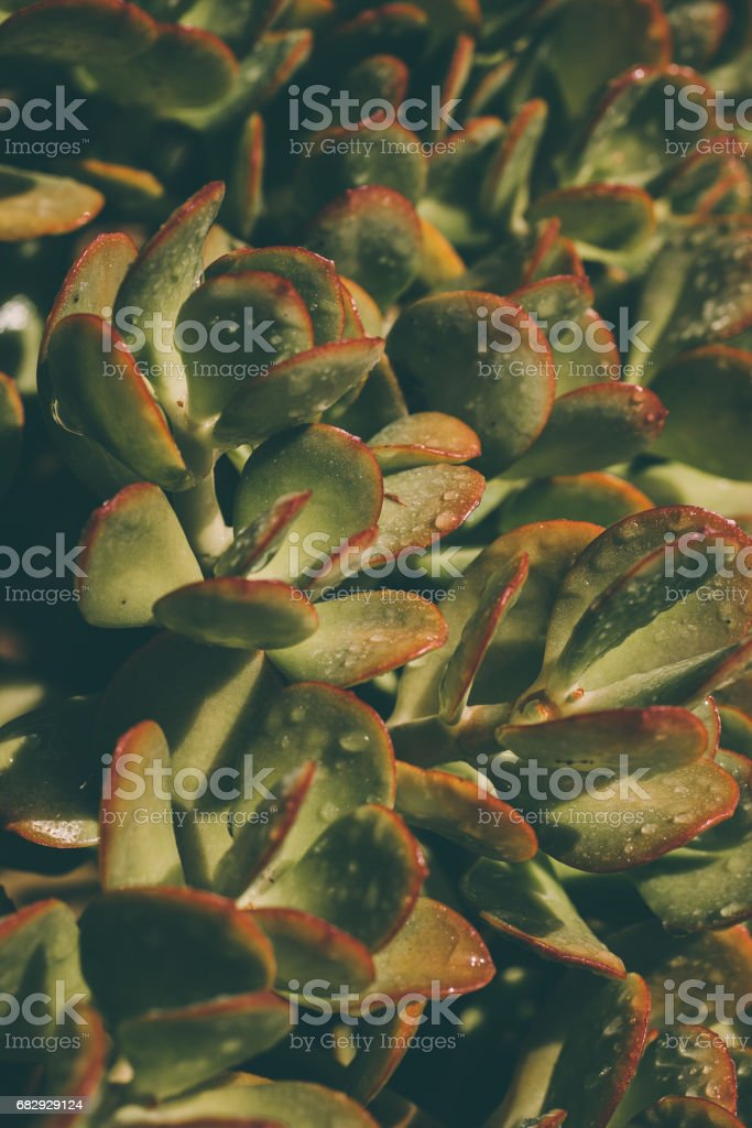 Succulents background. Texture of green wet succulents. Leaves texture & background. Macro view of green wet succulents. Abstract texture & background for designers. Organic texture. Natural pattern. royalty-free stock photo