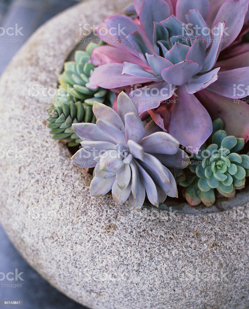 Succulents in a cement pot royalty-free stock photo