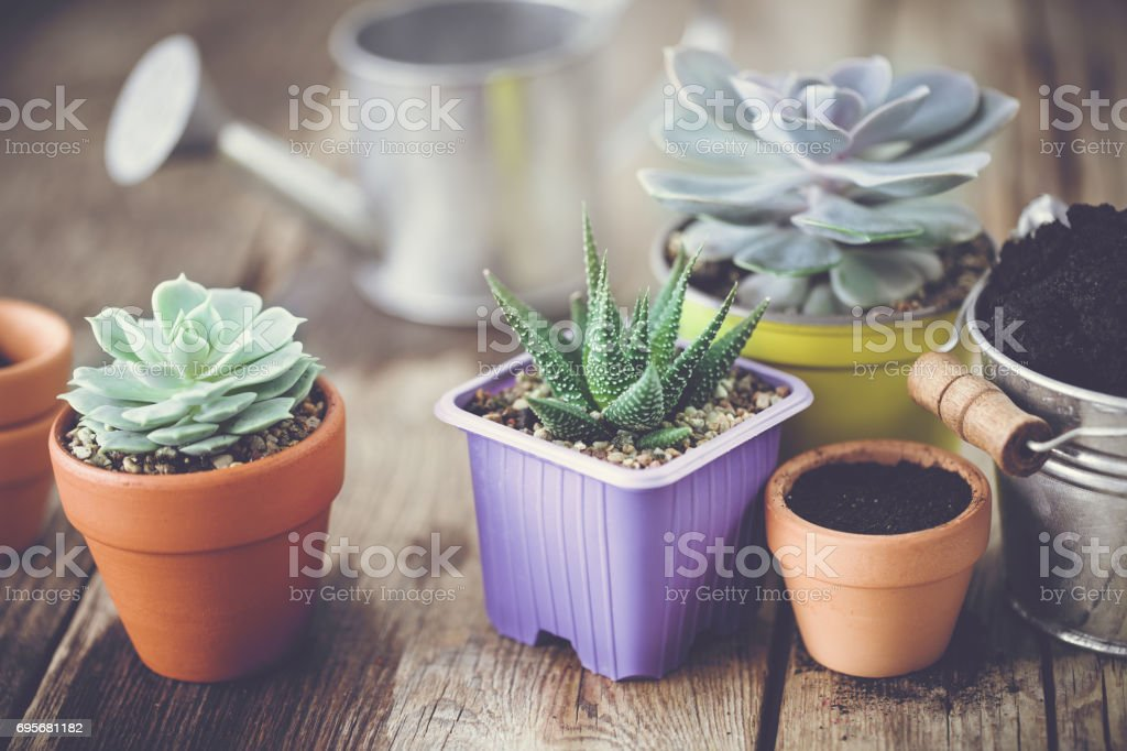 Succulents in pots, bucket with soil and watering can. Planting and care of houseplants and flowers. stock photo