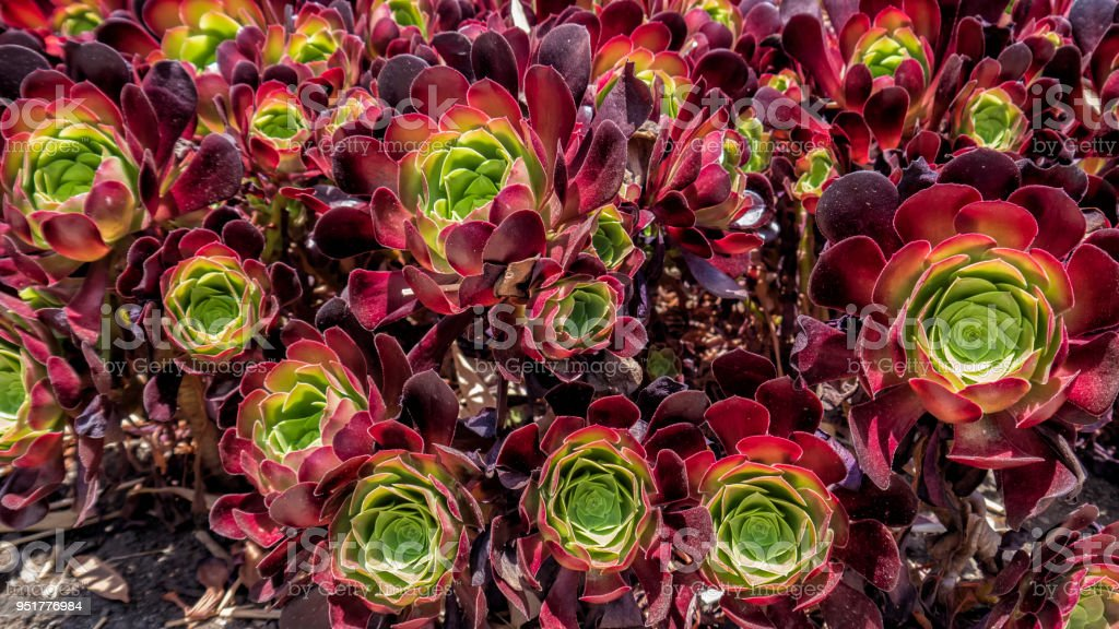 succulents in red and green stock photo more pictures of aeonium