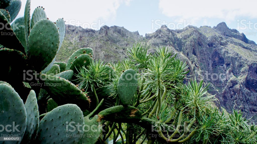 Succulents in the valley of Masca stock photo