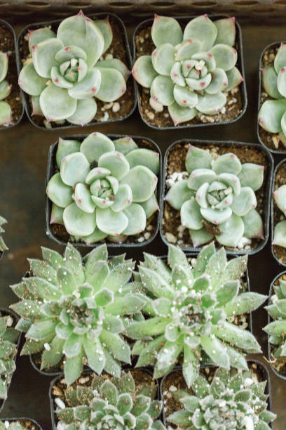 succulents in waco, texas - plant vector stock photos and pictures