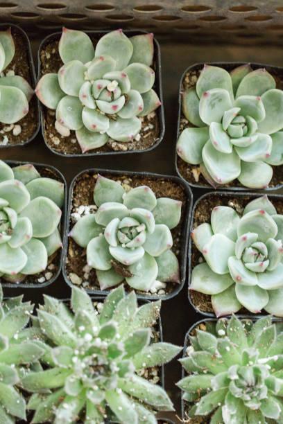 Succulents in waco texas picture id936682778?b=1&k=6&m=936682778&s=612x612&w=0&h=vu2lb13ewfyzewn2ggubfz4ahvhlvictzvv svjobve=