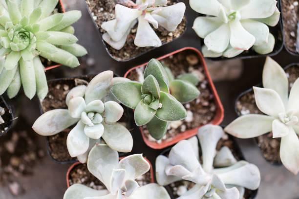 Succulents in waco texas picture id936682834?b=1&k=6&m=936682834&s=612x612&w=0&h=pmb glt hgkt1mexl1sqhxwt zwohpmugdym8mnel6m=