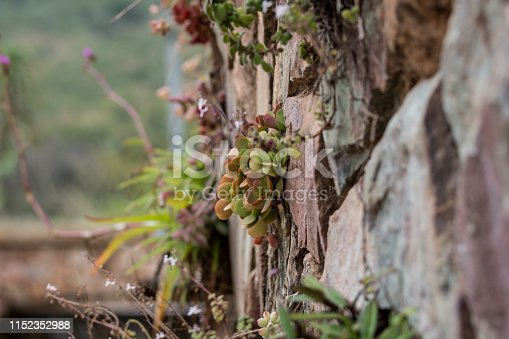 A selection of succulent species grows out of a stone wall.