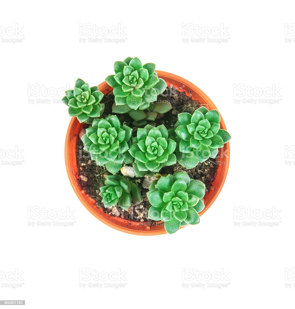 succulents plant in pot on white background – Foto